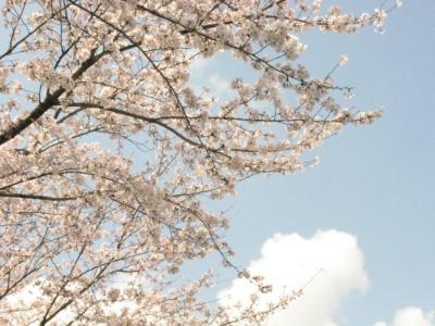 Sakura01b